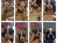 American Bull Dog Puppies for sale! Born June 5, 2015.