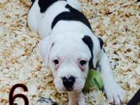 100% American Bulldog pups. Born 2-21-15. Go to website
