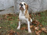 2 male american bulldogs, 9 months old, free to good