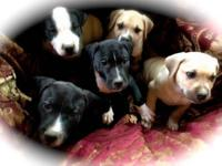 We have 4male 9wk old American Bulldog pups left out of