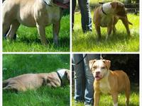 Bella is a 2 yr old American Bulldog that loves to play