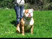 We have some incredible NKC American Bulldogs due in