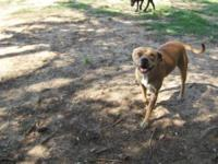 American Bulldog - Angel - Medium - Adult - Female -
