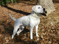 American Bulldog - Angus - Medium - Adult - Male - Dog