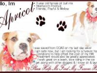 American Bulldog - Apricot - Medium - Adult - Female -