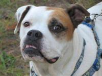 American Bulldog - Axl / Columbus, Ga - Large - Adult -