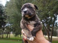 American Bulldog - Basil The Bulldog Puppy - Large -
