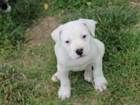 American Bulldog - Bella - Extra Large - Adult - Female