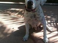 American Bulldog - Bella - Large - Young - Female -