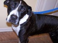 American Bulldog - Bella - Medium - Adult - Female -