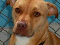 American Bulldog - Bella - Medium - Young - Female -