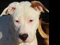 American Bulldog - Big Guy - Large - Young - Male -