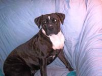 American Bulldog - Bouda - Medium - Adult - Female -