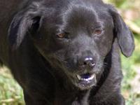 American Bulldog - Brutus - Medium - Young - Male -