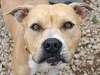 American Bulldog - Buddy - Medium - Young - Male - Dog