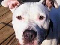 American Bulldog - Buster- Needs Foster Home - Large -