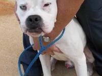 American Bulldog - Buster - Large - Adult - Male - Dog