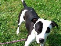 American Bulldog - Callie - Medium - Young - Female -