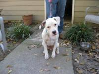 American Bulldog - Casper - Medium - Young - Female -