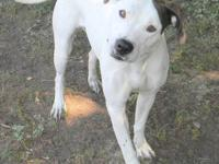 American Bulldog - Charlotte - Large - Adult - Female -