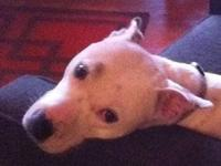 American Bulldog - Charlotte - Large - Young - Female -