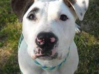 American Bulldog - Clarence - Large - Young - Male -
