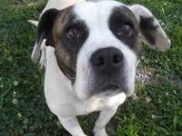 American Bulldog - Cochise Mops - Large - Young - Male