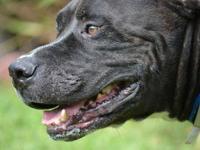 American Bulldog - Cooper - Medium - Young - Male -