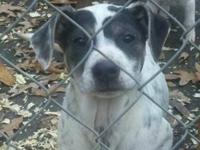 American Bulldog - Daisy - Medium - Baby - Female -
