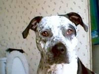 American Bulldog - Darby I - Large - Adult - Male -