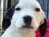 American Bulldog - Dave - Medium - Baby - Male - Dog My