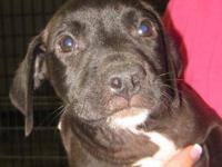 American Bulldog - Diamond - Medium - Young - Female -
