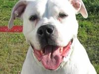American Bulldog - Drake - Large - Adult - Male - Dog