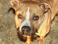 American Bulldog - Elway - Medium - Young - Male - Dog