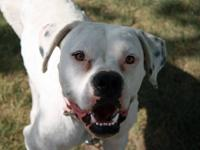 American Bulldog - Enchanted - Medium - Young - Female
