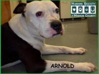 American Bulldog - Felix - Large - Young - Male - Dog