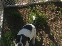 8 week old female American Bulldog .NKC registered.up