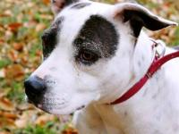 American Bulldog - Fiona - Medium - Adult - Female -