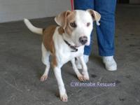 American Bulldog - Fonzie - Medium - Young - Male -