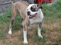 3 years of age pure reproduced American Bulldog. For