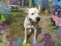 American Bulldog - Frankie K12206 - Medium - Adult -
