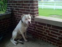 American Bulldog - Gidget Aka Shoestring - Large -