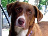 American Bulldog - Ginger - Medium - Adult - Female -