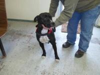 American Bulldog - Gladys - Medium - Adult - Female -