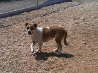 American Bulldog - Grace! - Large - Adult - Female -