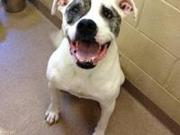 American Bulldog - Gracie - Large - Adult - Female -