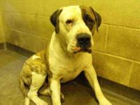 American Bulldog - Harley - Medium - Adult - Male -
