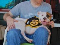 American Bulldog - Hershay - Large - Adult - Female -