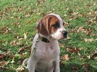 American Bulldog Hound mix puppies for sale. There are