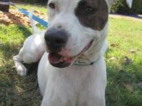 American Bulldog - Isaac - Medium - Adult - Male - Dog